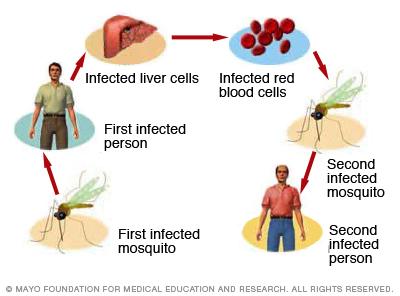 ds00475_im00175_mcdc7_malaria_transmitthu_jpg