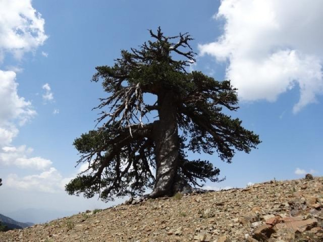 oldest_treewp